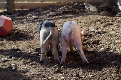 A Pork Butt is NOT from the Butt of a Pig?!
