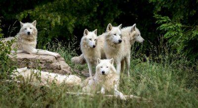 Wolf, Woods